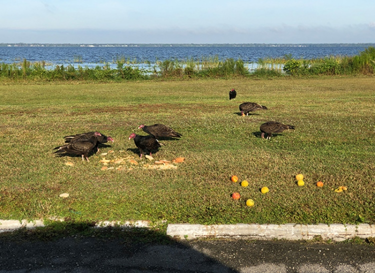 vultures-feeding-on-bread-and-apples-A-IMG_0256