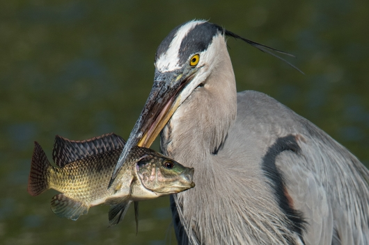 Great-Blue-heron-HEAD-with-fish-_DSC8770-Gatorland,-Kissimmee,-FL