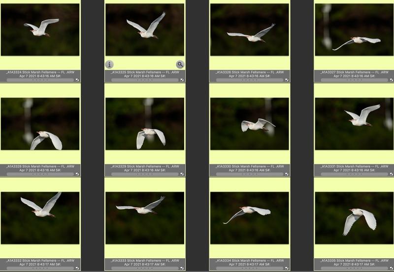 12-cattlle-egret-flight-STICK-MARSH