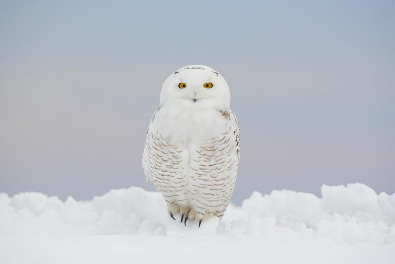 1_greg-snowy-owl-_8501467