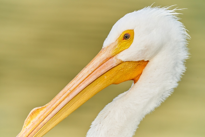 American-White-Pelican-face-and-bill-detail-_A920286-Lakeland-FL