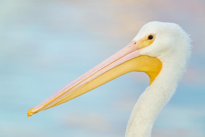 American-White-Pelican-immature-head-portrait-in-soft-light-_A922869-Lakeland-FL
