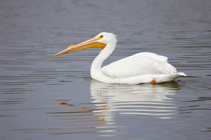 American-White-Pelican-swimming-_91A1302-Lakeland-FL