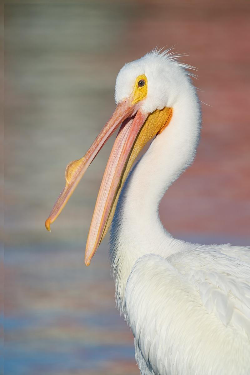 American-White-Pelican-w-bill-open-_DSC2467-Lakeland-FL