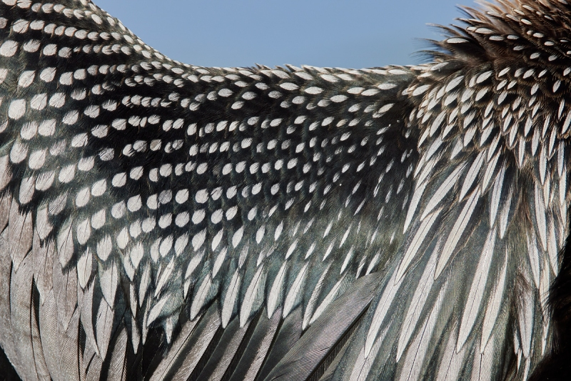 Anhinga-feather-detail-_Q5A1793-Lakeland-FL-1
