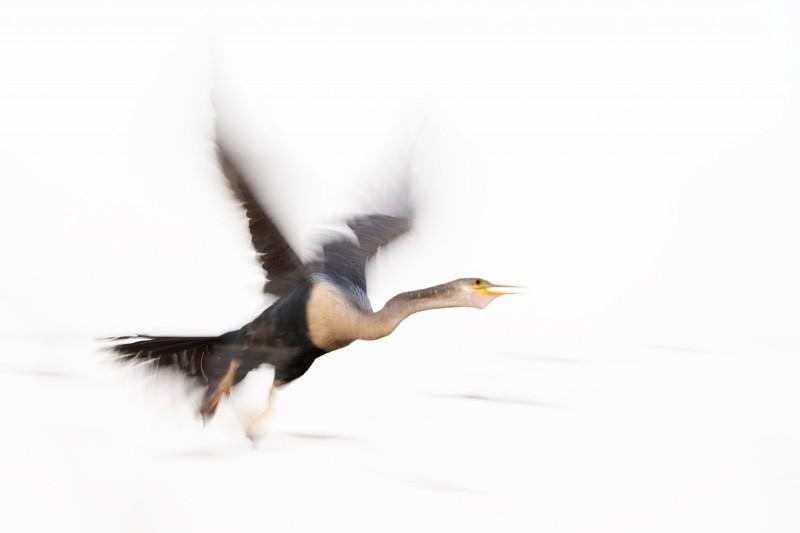 Anhinga-take-off-blur-_A1A6774-Lake-Kissimmee-FL-