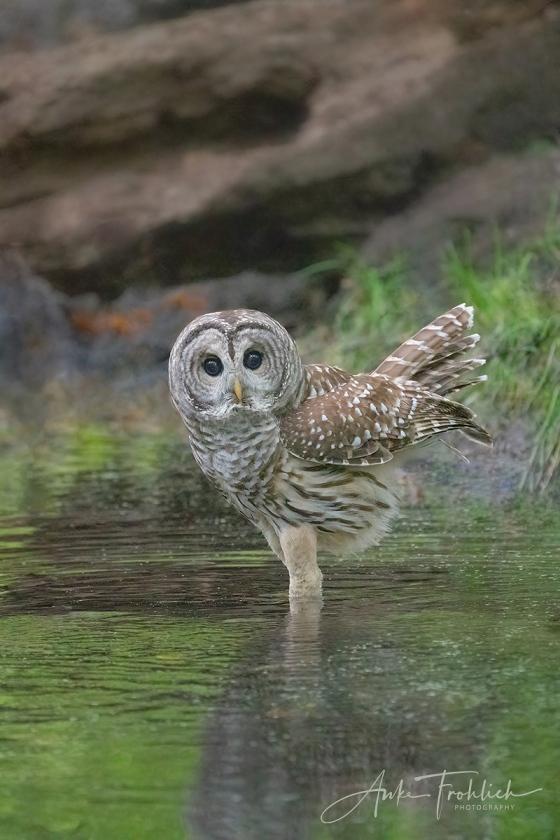 BLOG-Barred-OWL-Barry-am-PS-DSC00365-2