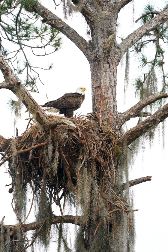 Bald-Eagle-at-old-Osprey-nest-_A9B7621-Indian-Lake-Estates-FL-1