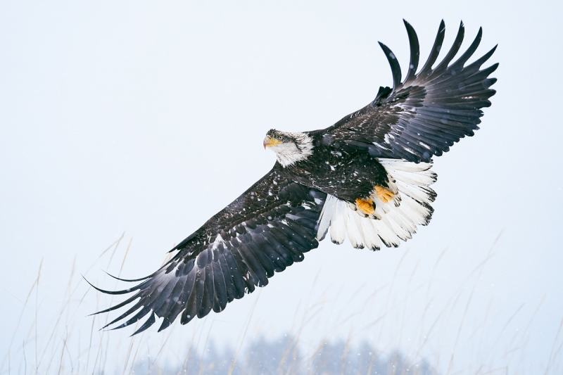 Bald-Eagle-sub-adult-_A927500-Kachemak-Bay-AK-1