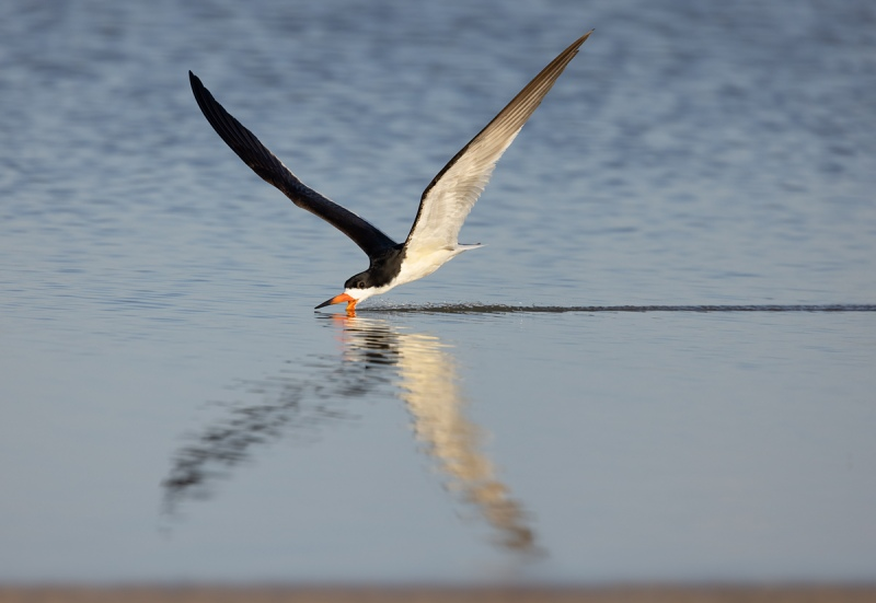 Black-Skimmer-skimming-DONNA-_93A0923