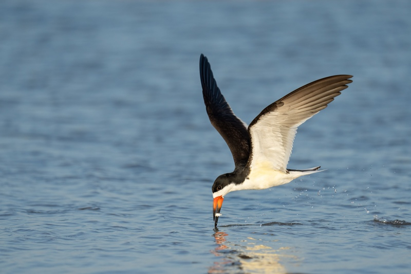 Black-Skimmer-with-fish-lifting-head-_A1A5553-Fort-DeSoto-FL-