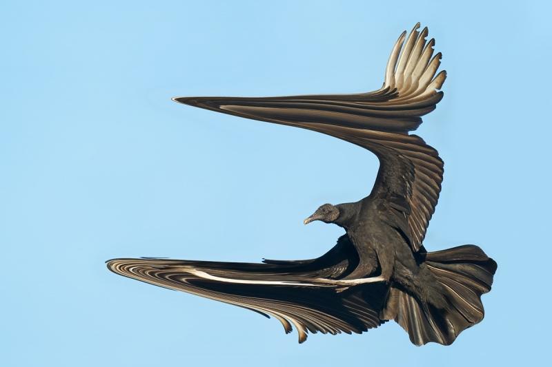 Black-Vulture-LIQUEFY-braking-to-land-_A9B7213-Indian-Lake-Estates-FL-1-copy