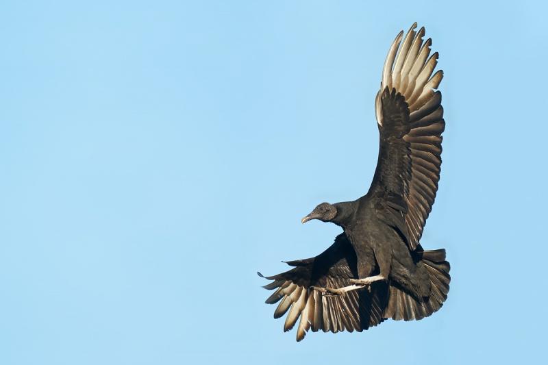 Black-Vulture-braking-to-land-_A9B7213-Indian-Lake-Estates-FL-1