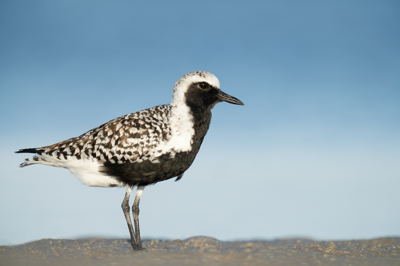 Black-bellied-Plover-breeding-plumage-_A1A9634-Indian-Lake-Estates-FL-