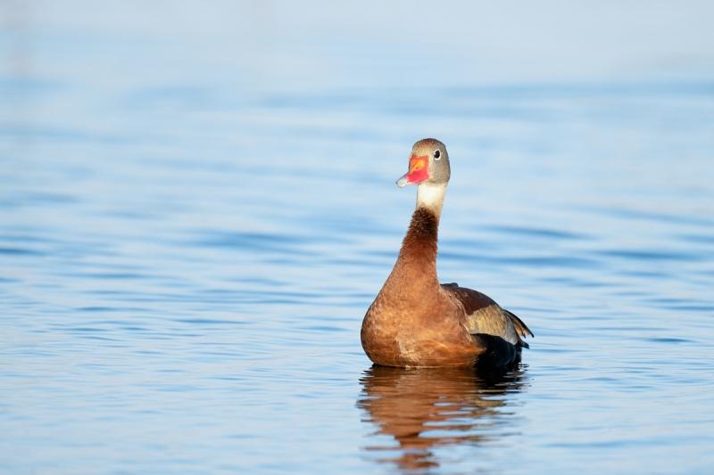 Black-bellied-Whislting-Duck-_A1B3005-Indian-Lake-Estates-FL-