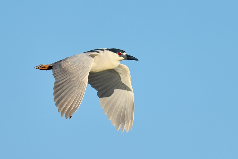 Black-crowned-Night-Heron-adult-in-flight-_DSC2416-Merritt-Island-NWR-FL-1