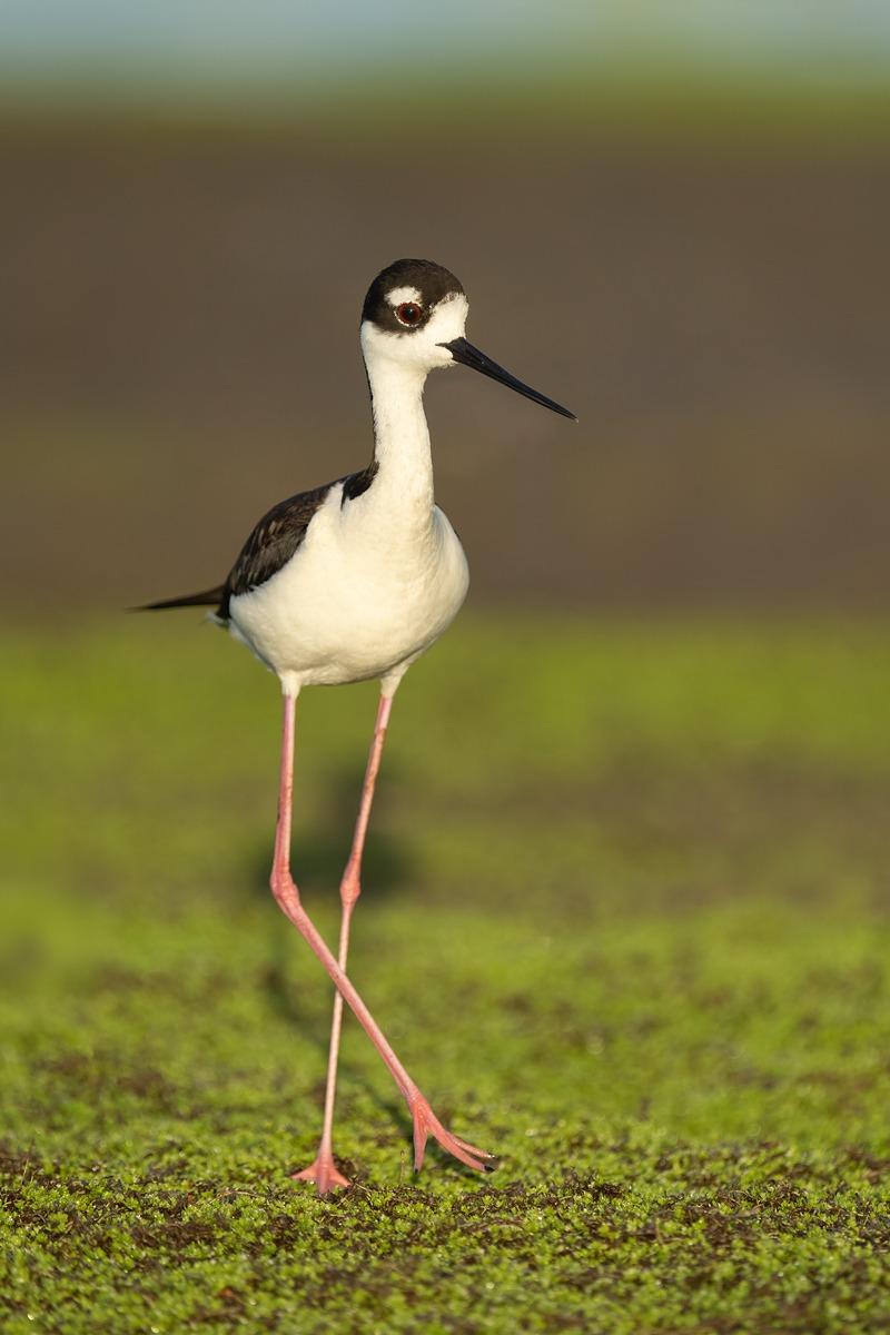 Black-necked-Stilt-female-on-vegetation-covered-mud-bar_A1B3484-Indian-Lake-Estates-FL-
