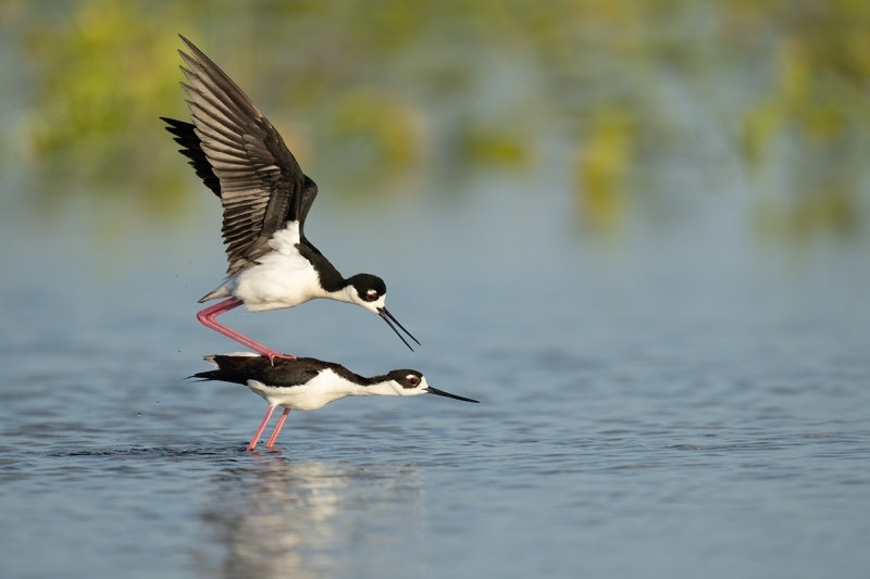 Black-necked-Stilt-pre-copulatory-stand-_A1A5070-Indian-Lake-Estates-FL-