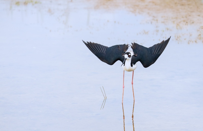 Black-necked-Stitl-nest-distraction-display-_A1B3017-Indian-Lake-Estates-FL-