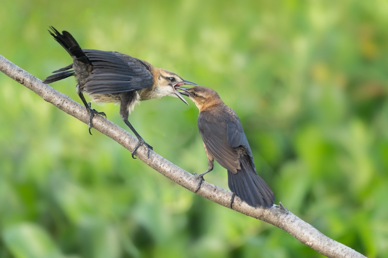 Boat-tailed-Grackle-feeding-young-_A1A7408-Lake-Kissimmee-FL-