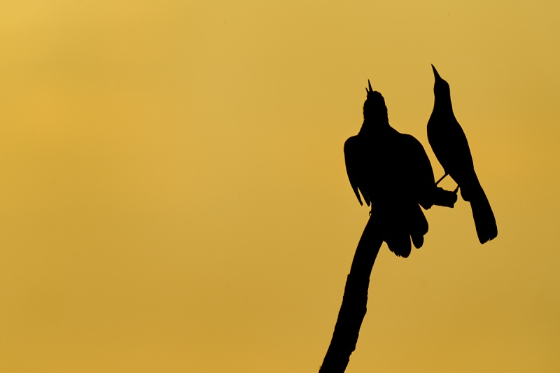 Boat-tailed-Grackle-males-one-singing-_A9B0170-Indian-Lake-Estates-FL