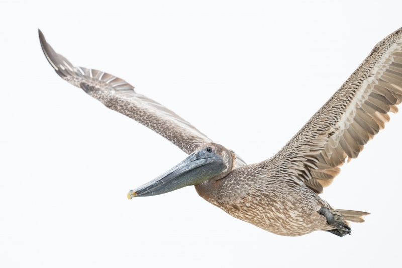 Brown-Pelican-immature-white-sky-flight-_A1B4476-Jacksonville-FL