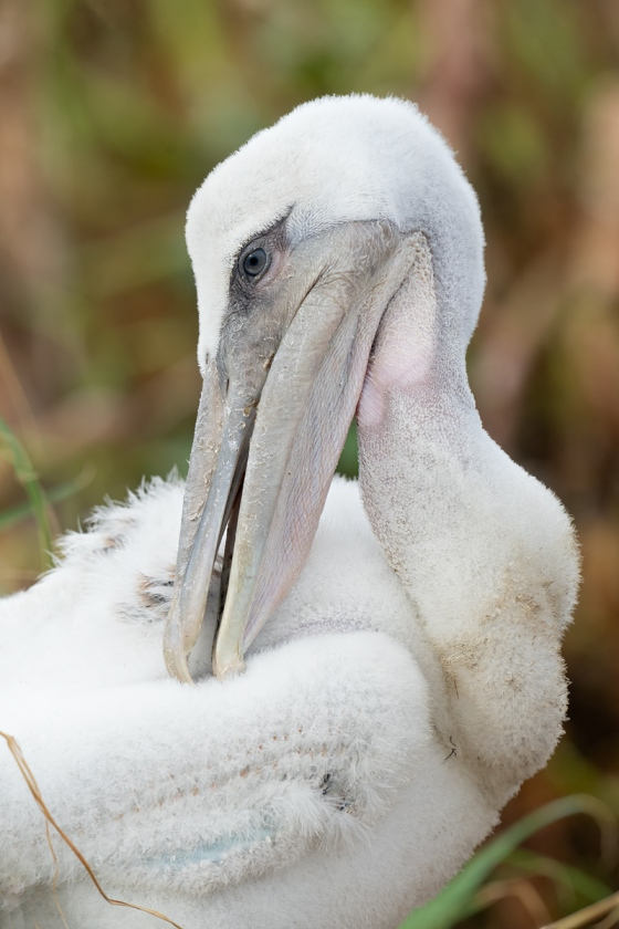 Brown-Pelican-large-chick-preening-_A1B2810-Jacksonville-FL