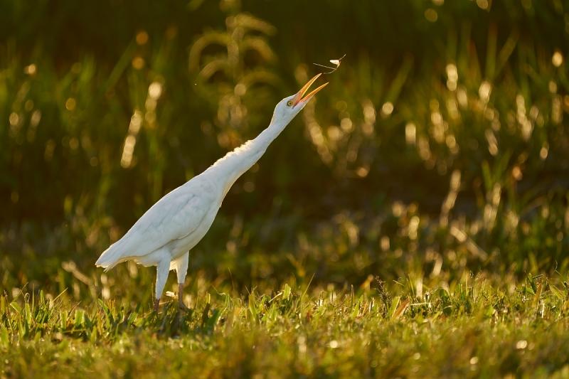 Cattle-Egret-backlit-LESS-BLUE-catching-mayfly-_A925885-Indian-Lake-Estates-FL-1