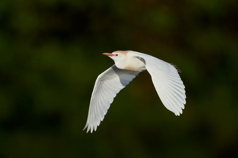 Cattle-Egret-breeding-plumage-HH-840mm-flight-_A1A3335-Stick-Marsh-Fellsmere-FL