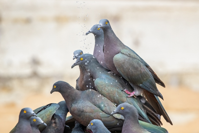 Christmas-Island-Pigeons