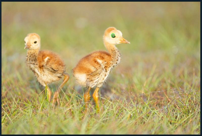 DPP-4-AF-pts-two-crane-chicks-1