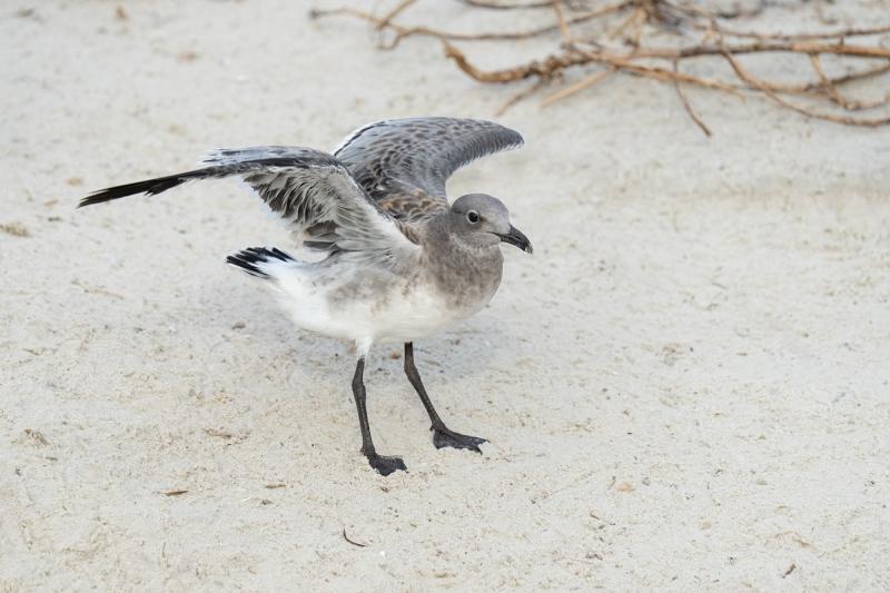 De-Rosa-Laughing-Gull-flapping-juvenile-_A1B1542-Jacksonville-FL