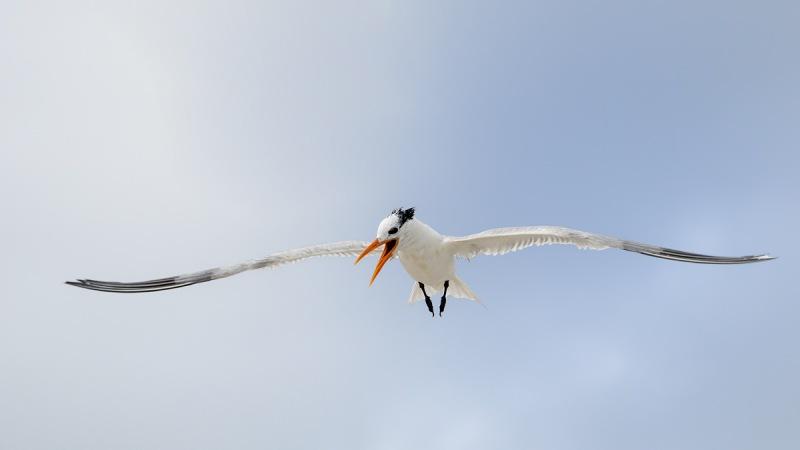 De-Rosa-Royal-Tern-screaming-in-flight-_A1B2947-Jacksonville-FL