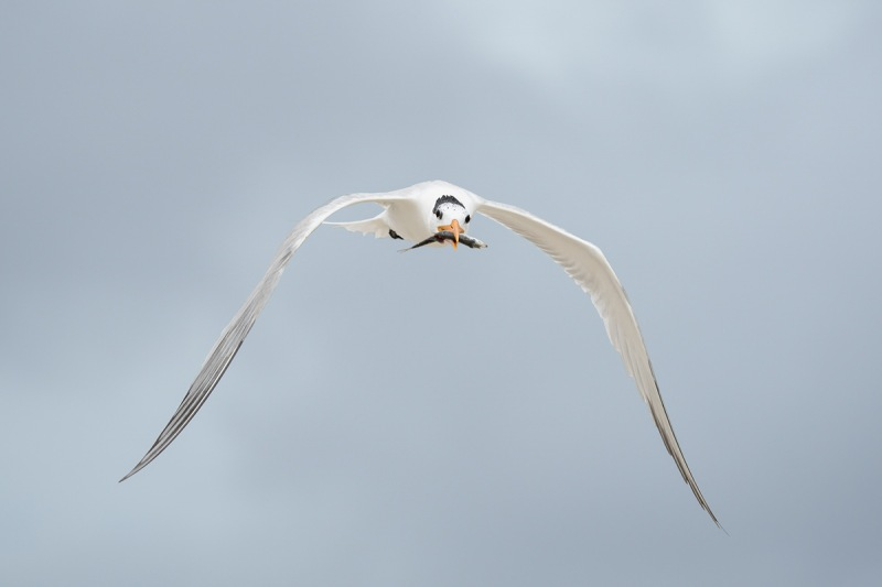 De-Rosa-Royal-Tern-with-fish-for-chick-_A1B3755-Jacksonville-FL
