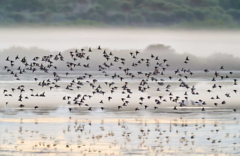 Dunliin-flock-in-pre-dawn-flight-_A9B8835-Merritt-Island-NWR-FL