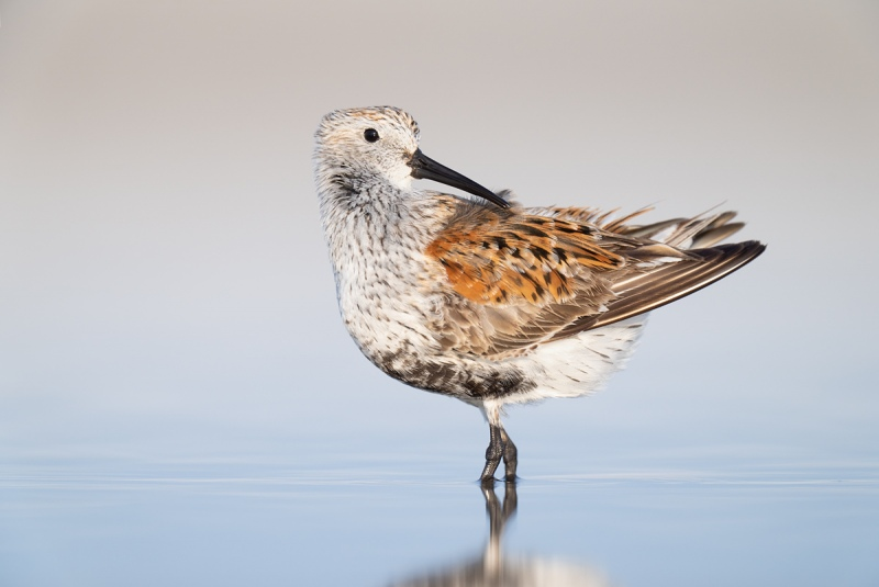 Dunlin-adult-breeding-plumage-preening-_A1A3002-Fort-DeSoto-Park-FL-