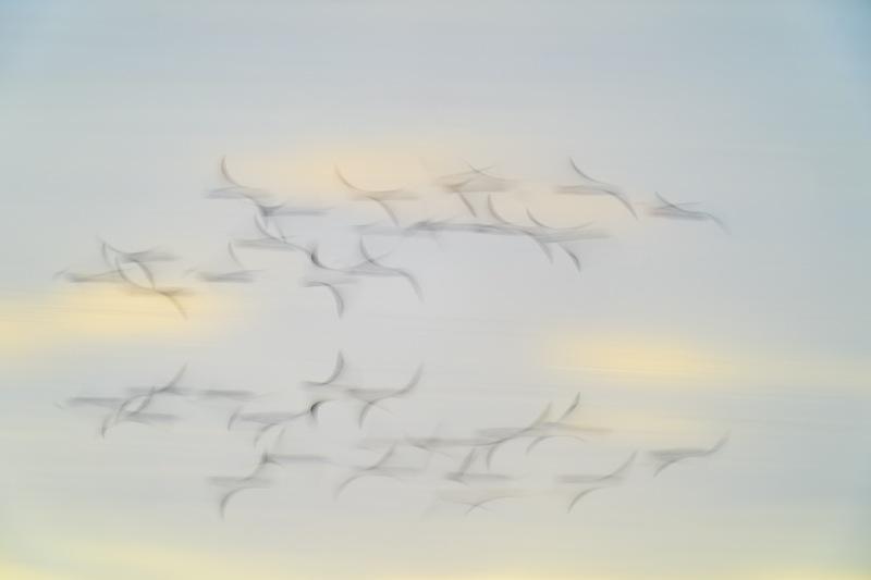 Dunlin-flock-blur-_A9B9377-Merritt-Island-NWR-FL