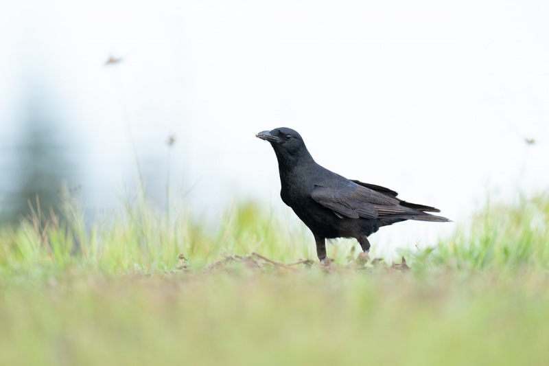 Fish-Crow-at-turtle-nest-_A1B6244-Indian-Lake-Estates-FL-