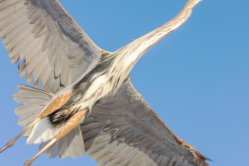 Greaat-Blue-Heron-body-flight-shot-_91A4269-Fort-DeSoto-Park-Tierra-Verde-FL-