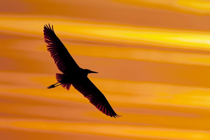 Great-Egret-at-sunset-_A9B8217-Indian-Lake-Estates-FL-1