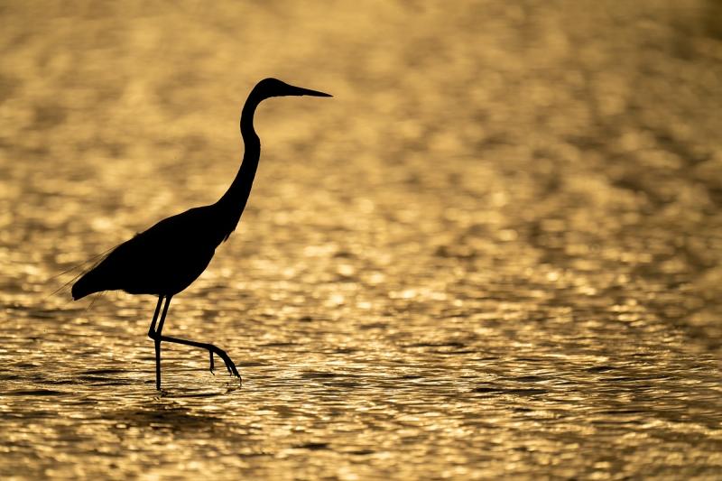 Great-Egret-backlit-hazy-sunrise-_A1B4417-Fort-DeSoto-Park-FL-