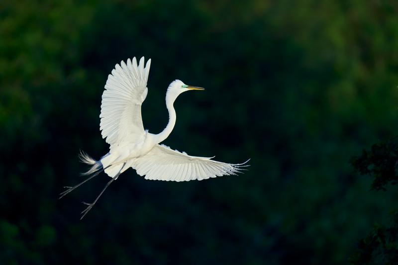 Great-Egret-spotlit-_DSC1559-Merritt-Island-NWR-FL-1