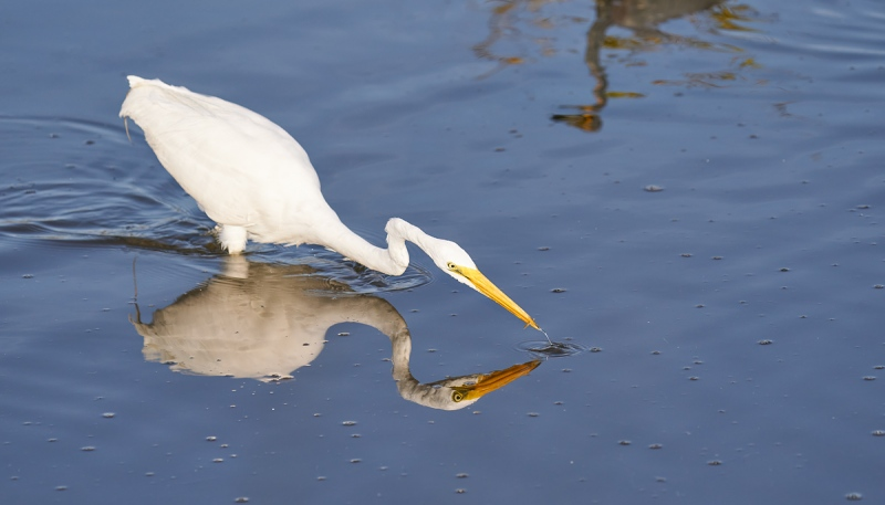Great-Egret-with-tiny-fish-_A928444-Merritt-Island-NWR-FL