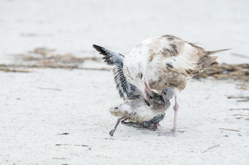 Herring-Gull-1st-summer-attacking-large-Laughing-Gull-chick-_A1B4321-Jacksonville-FL