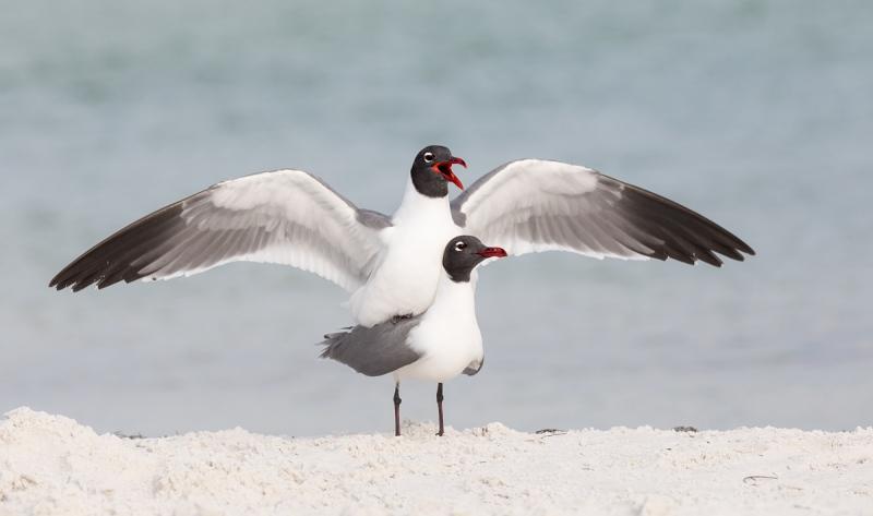 Laguhing-Gulls-copulating-_P3A8204-Fort-DeSoto-Park-Tierra-Verde-FL