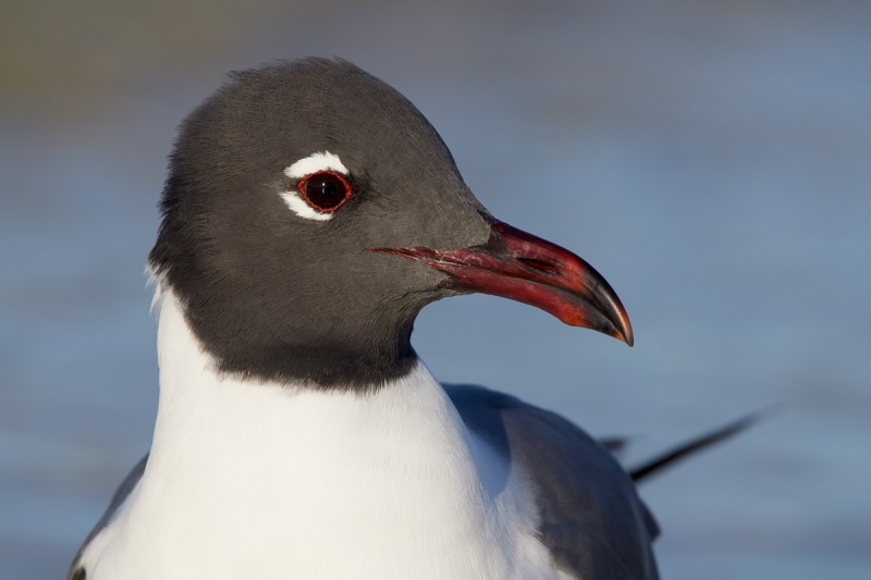 Laughing-Gull-1000mm-R5-_91A4798-Fort-DeSoto-Park-Tierra-Verde-FL