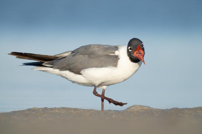 Laughing-Gull-beginning-yawn-_A1A9561-Indian-Lake-Estates-FL-
