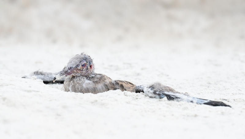 Laughing-Gull-chick-after-attack-by-Herring-Gull-_A1B4341-Jacksonville-FL