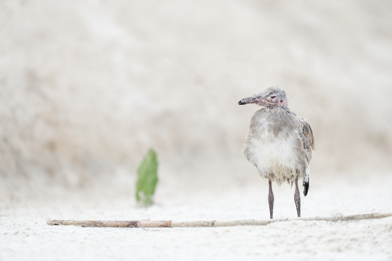 Laughing-Gull-large-chick-recovering-after-atttack-by-Herring-Gull-_A1B4530-Jacksonville-FL