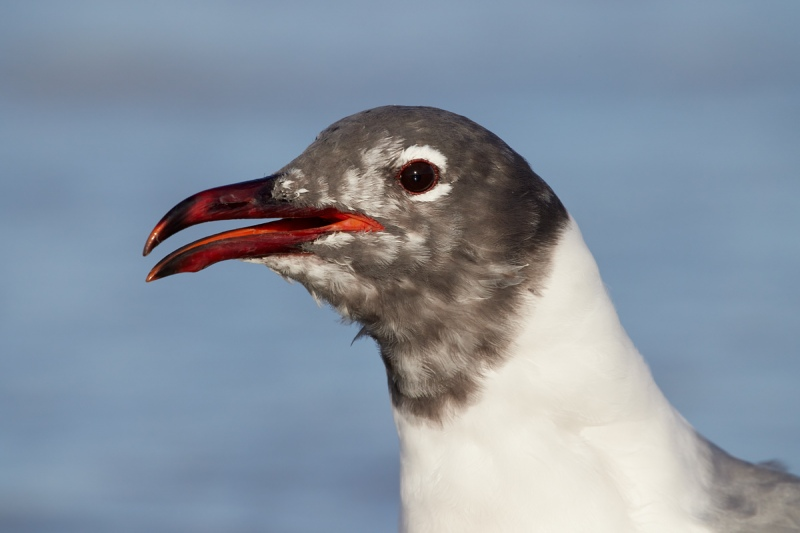Laughing-Gull-molting-calling-R5-1000mm-_91A4906-Fort-DeSoto-Park-Tierra-Verde-FL
